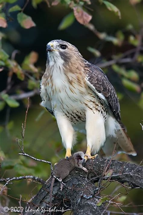 146 best images about birds of ohio on pinterest raptors