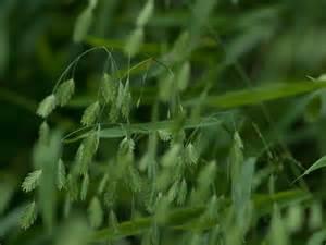 Jaguar Grass Seed Stock Photo Showcase 187 Grasses