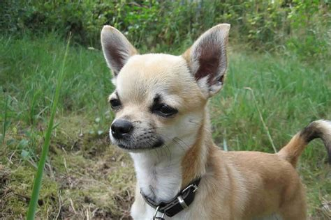How To House A Chihuahua by Small Breeds Chihuahua
