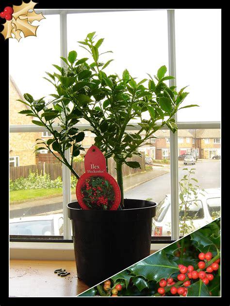 pot plant christmas altar 1 berry outdoor hardy shrub garden decoration plant in pot ebay