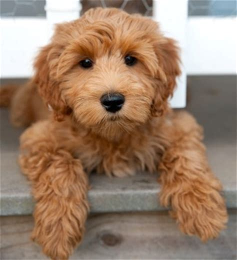 best shoo for dogs with allergies best 20 labradoodles ideas on labradoodle puppies images and