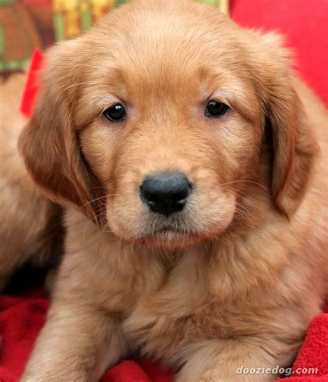 images of golden retriever puppies golden retriever puppy 12 jpg