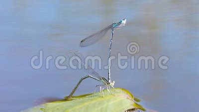 mating season of dragonflies stock footage video 37633395