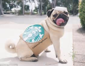 pug starbucks costume homer pugalicious wins legions of fans with his adorable costumes daily