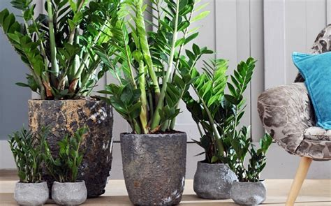 Schöne Pflegeleichte Zimmerpflanzen pflegeleichte zimmerpflanzen die zamie bringt gl 252 ck ins haus