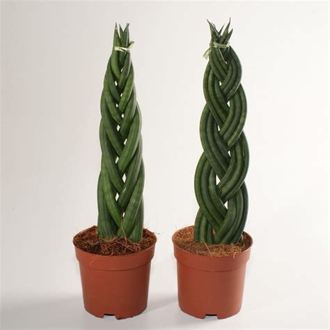 Indoor Trees Low Light by Plants Amp Flowers 187 Sansevieria Cylindrica