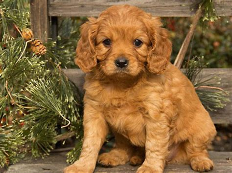 how do puppies to be to get cavapoo puppies how big do they get cavapoo puppies how big do they breeds picture
