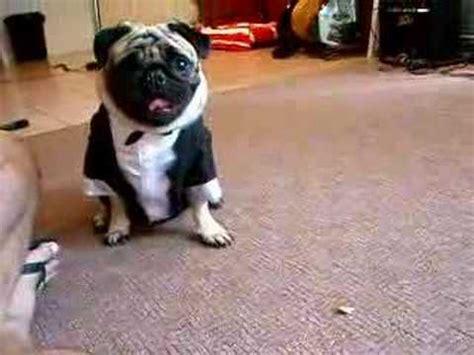 romeo the pug my pug hates his costume lol doovi