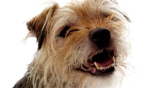 retained puppy teeth retained deciduous teeth baby teeth in dogs vca animal hospital