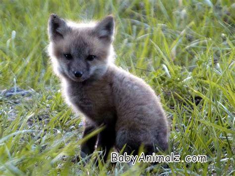 awwwtheanimals adorable baby silver fox