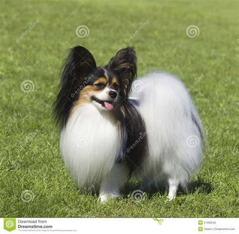 your purebred puppy portrait of purebred papillon stock photography image 27059242