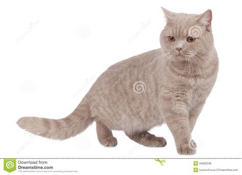 walking sideways shorthair cat sideways walking royalty free stock photos image 34832338