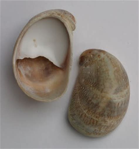 what are slipper shells preferences as evidenced in shell collection startsateight