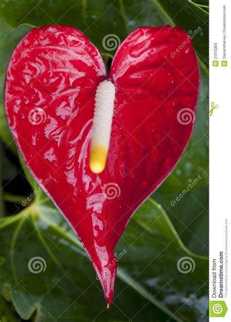 fiore a forma di cuore fiore a forma di cuore a immagini stock