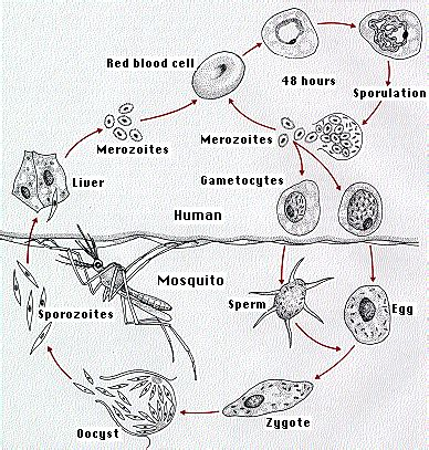 diagram of plasmodium vivax the protists