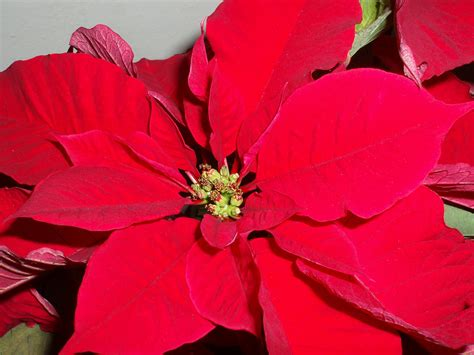Decorations Poinsettia - photo of poinsettia free images