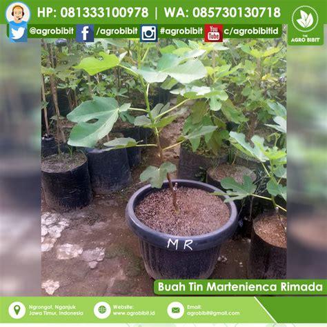 Bibit Buah Tin Jakarta jual bibit buah tin martinenca rimada agro bibit id
