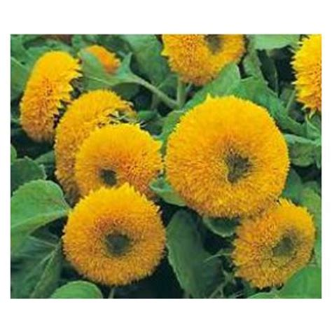 Biji Bunga Sunflower Italian White menjual biji anak benih keratan bulbs bunga matahari