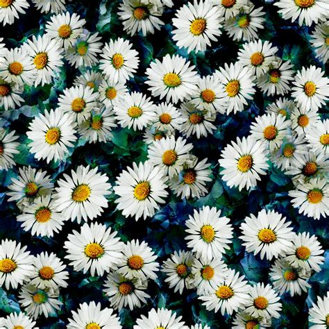 daisy pattern tumblr daisy background quotes quotesgram