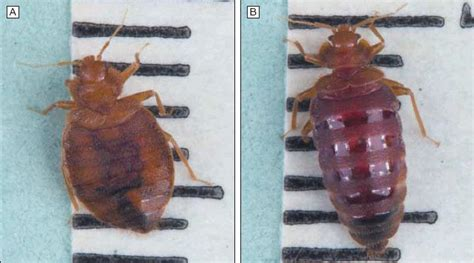 baby bed bugs pictures size    identify bites