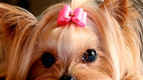yorkie wallpapers yorkie puppies wallpaper hd desktop wallpapers 4k hd