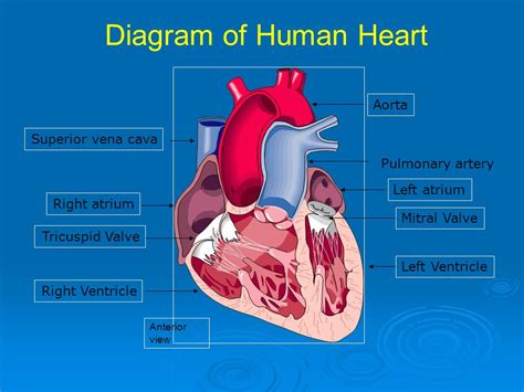 diagram of human arteries animal tissues and organ systems ppt