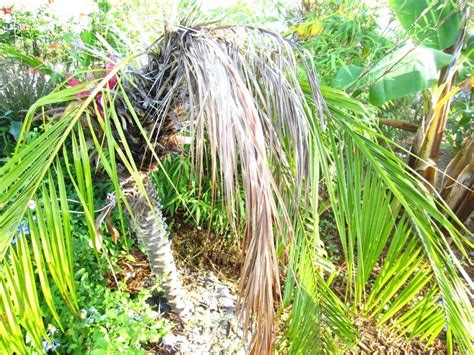 palm gardens pest garden pests and diseases palm tree problem 1 by