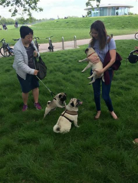 pug owners club pug club in s regents park is largest in britain metro news