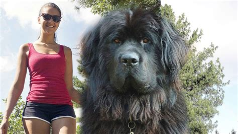 largest breeds in the world top 10 dogs in the world 2015 dogs the largest breeds known to