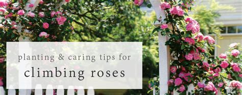 tips on planting quot climbing roses quot on a rose trellis my jackson and perkins