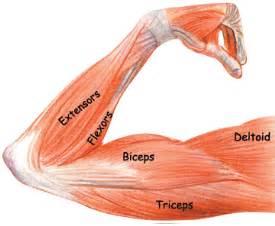 triceps diagram arm muscles biceps triceps brachioradialis