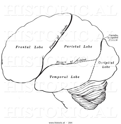 Brain Outline Lobes by Best Photos Of Human Brain Outline Printable Brain Clip Free Human Brain Diagram And