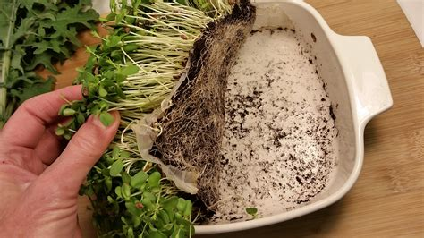 how to grow flax microgreens 6 easy steps for growing microgreens a picture of america