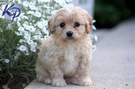 cavachon puppies for sale in pa sebastian cavachon puppies for sale in pa keystone puppies cavachon puppies