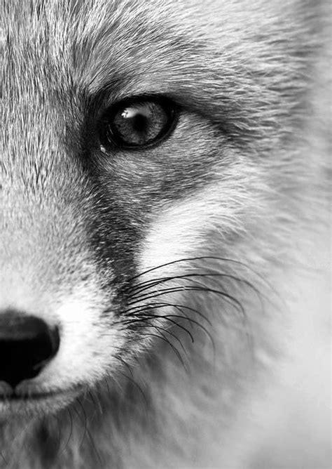 decoratie foto s ansichtkaart gefotografeerde vos in zwart wit fotografie