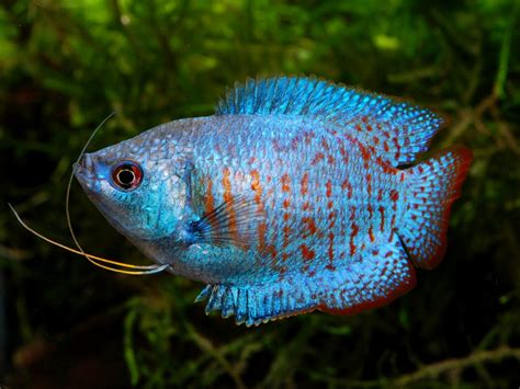 dwarf gourami fish laboratory