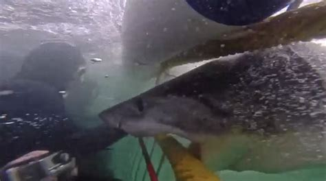 great white shark attacks cage great white shark attacks cage in heart stopping
