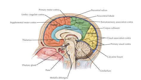 sagittal section of brain labeled sagittal diagram of brain anatomy organ