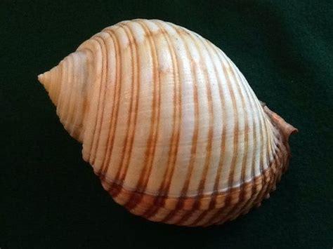Kerang Laut Koleksi Fox Seashell 3107 best sea treasures images on shells clam shells and sea shells
