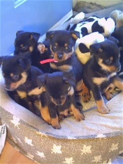 min pin pomeranian pineranian breed information and pictures