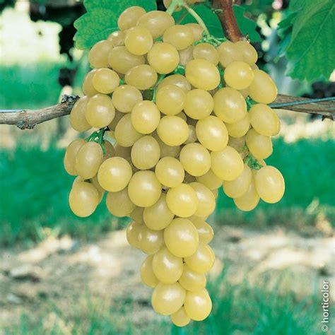 uva da tavola italia vite da tavola italia viti da tavola meilland