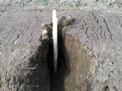 Spargel Selbst Anbauen 4487 spargel selbst anbauen spargel selbst anbauen so geht 39