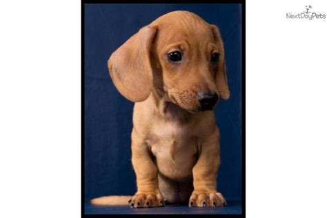puppies for sale in harlingen tx dachshund dachshund puppy for sale near mcallen edinburg d10c8f5a fed1