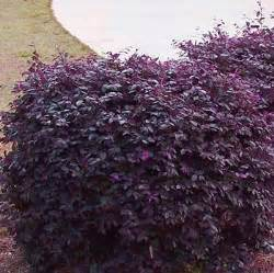 burgundy loropetalum for sale brighter blooms nursery