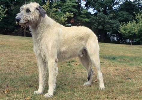 Wolfhound Shed wolfhound breed information
