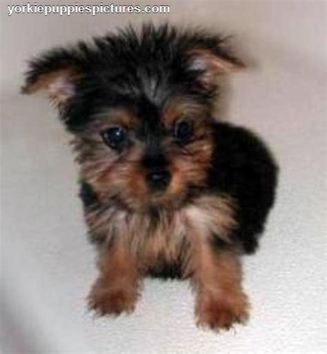 cheap puppies yorkie puppies for sale myideasbedroom