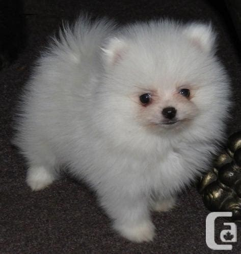 pomeranian puppies ontario gorgeous teacup puppy pomeranian for sale in ontario classifieds