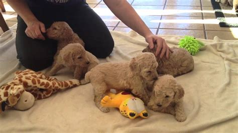 poodle puppies for sale mn standard poodle puppies for sale near iowa minnesota border