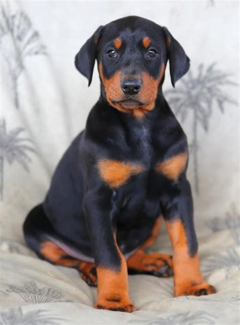 doberman puppies craigslist king doberman pinscher pups craigspets