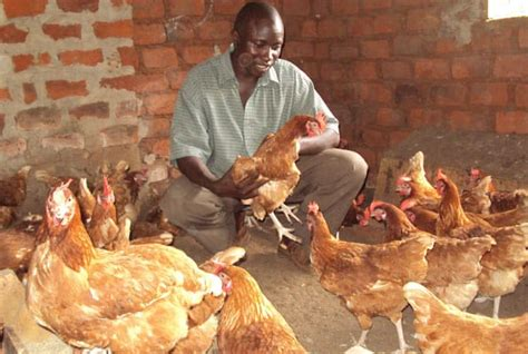Bill Gates Giveaway - tech mogul bill gates launches chicken giveaway to help african families face2face